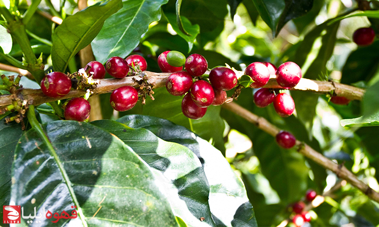 قهوه عربیکا گیشا یا گشا ( Geisha )