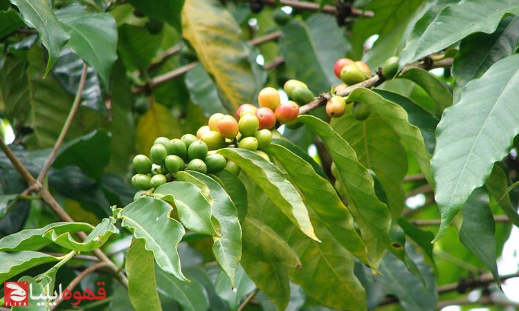 قهوه بدون کافئین کاریر ( Charrier )