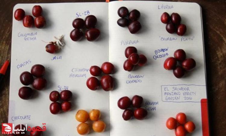 گیشا در مقایسه با بوربون، مروری مختصر بر گونه های قهوه قسمت اول
