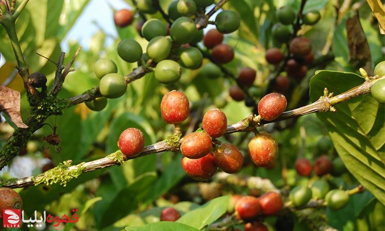 قهوه لیبریکا ( Liberica Coffee )