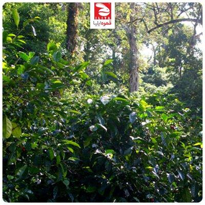 قهوه سایه رشد ( Shade-grown coffee )