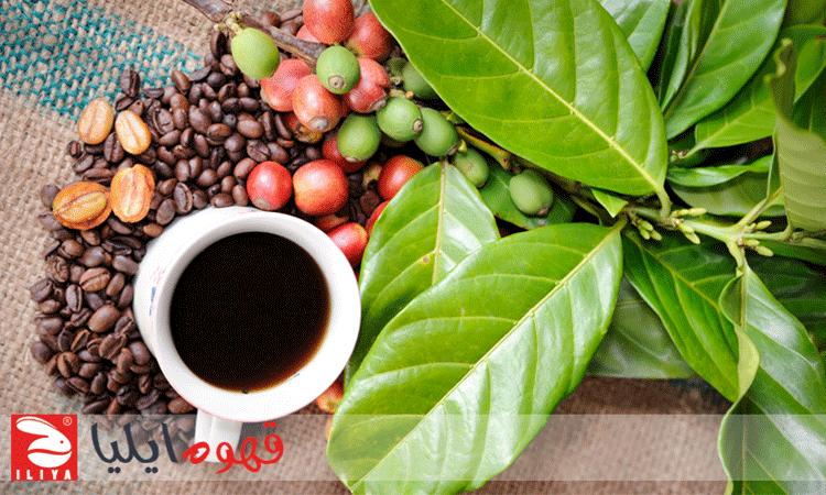 دانه و برگ قهوه
