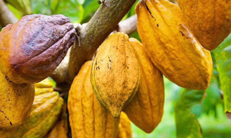 درخت کاکائو