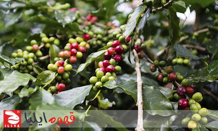 درخت قهوه در هندوراس