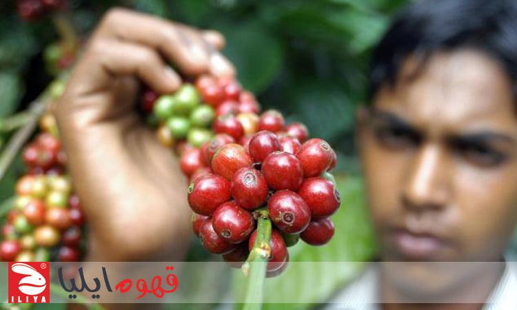 کارگر قهوه هندوستانی