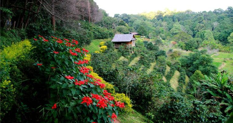 مزرعه قهوه در اندونزی یکی از بزرگترین تولید کننده های قهوه جهان
