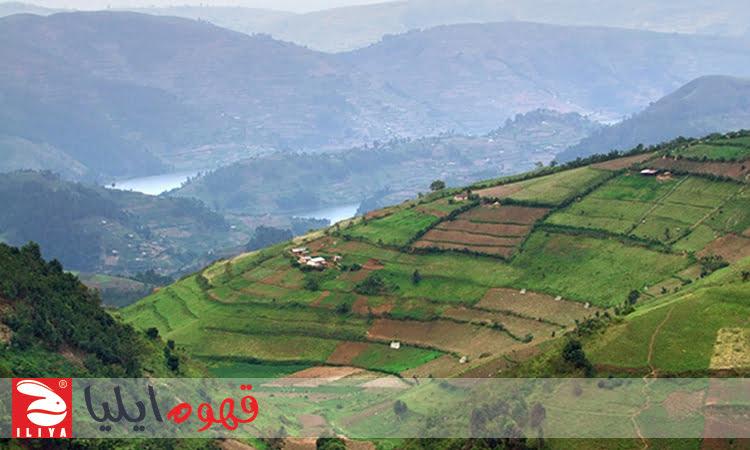 مزرعه قهوه در اوگاندا