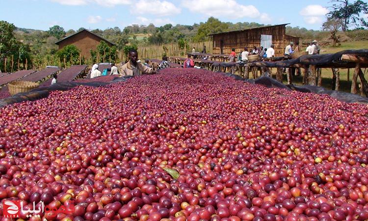 10 گام قهوه از دانه تا فنجان ( قسمت اول )