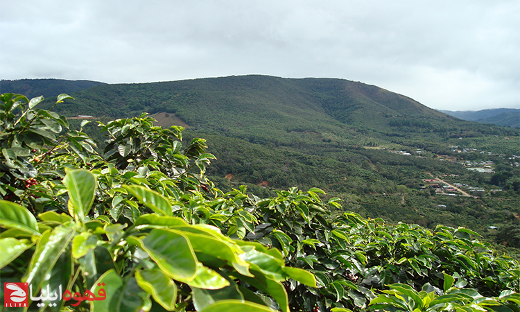 ارتفاع و اقلیم چگونه بر عطرو طعم قهوه تاثیر می گذارد ؟