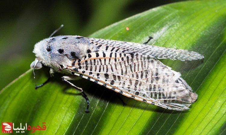 آفت ها و حشرات مضر و مخرب قهوه