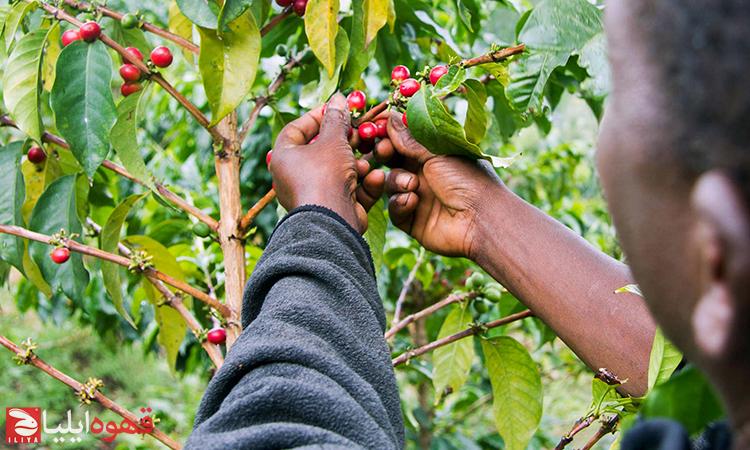 بیماری های مخرب و مضر برای گیاه قهوه